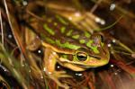 2018 10 23 green and gold bell frog